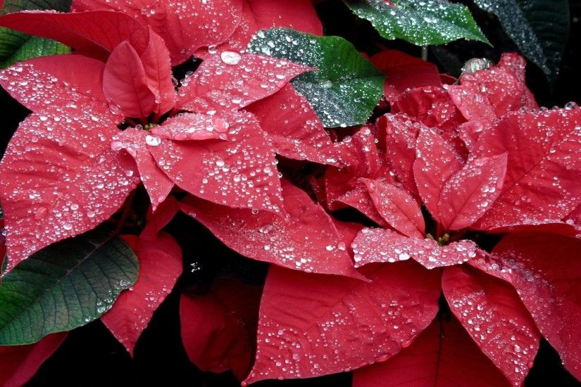 Wallpaper Poinsettia, Flowers, Red, Drop, Freshness, Close-up HD, Picture,  Image