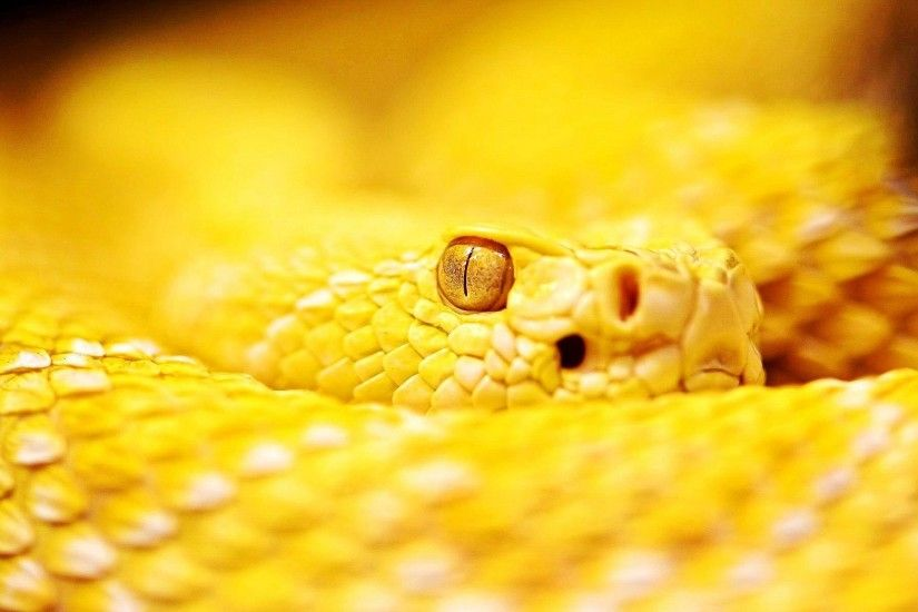 Albino Rattle Snake Wallpaper HD wallpapers - Albino Rattle Snake Wallpaper