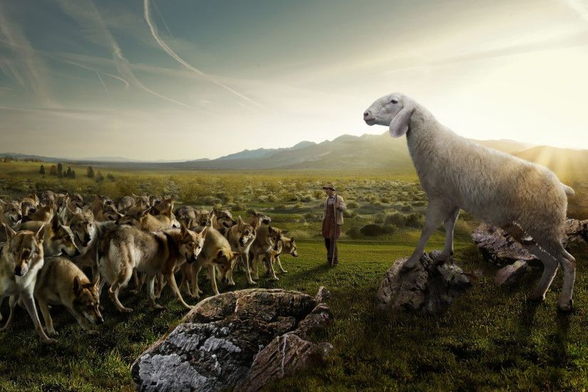 Sheep attacking the wolves wallpaper