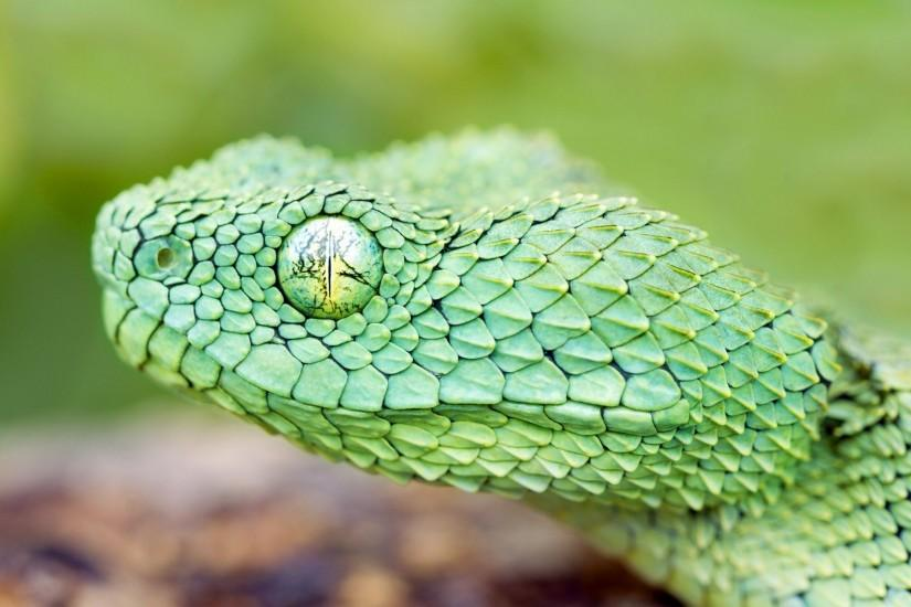 Images For > Green Viper Snake Wallpaper