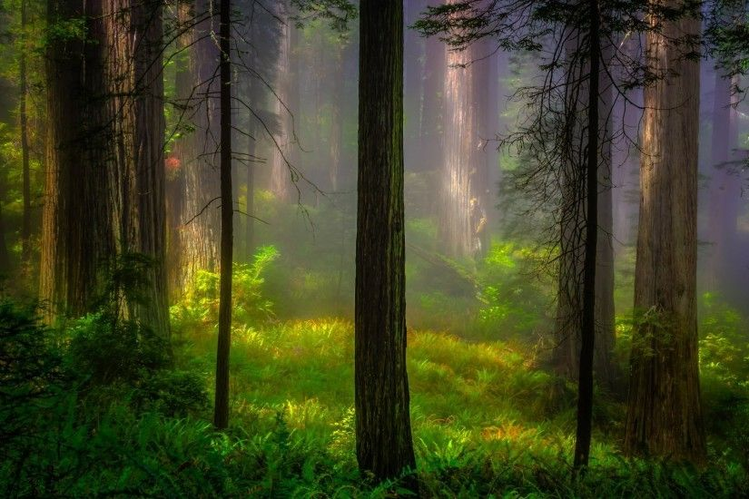 united states california redwood national park redwood forest tree light  morning nature