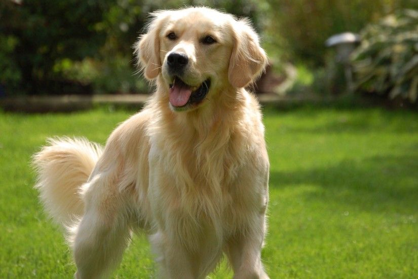 golden retriever full hd 1920x1200