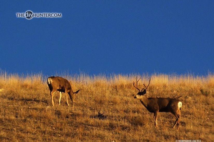 ... four point mule deer and doe on skyline
