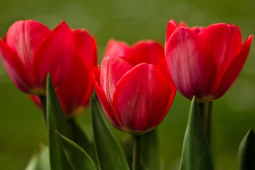 Red Tulips Wallpaper 2291