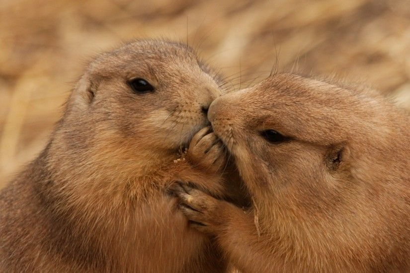 2048x2048 Wallpaper beavers, couple, kiss, caring