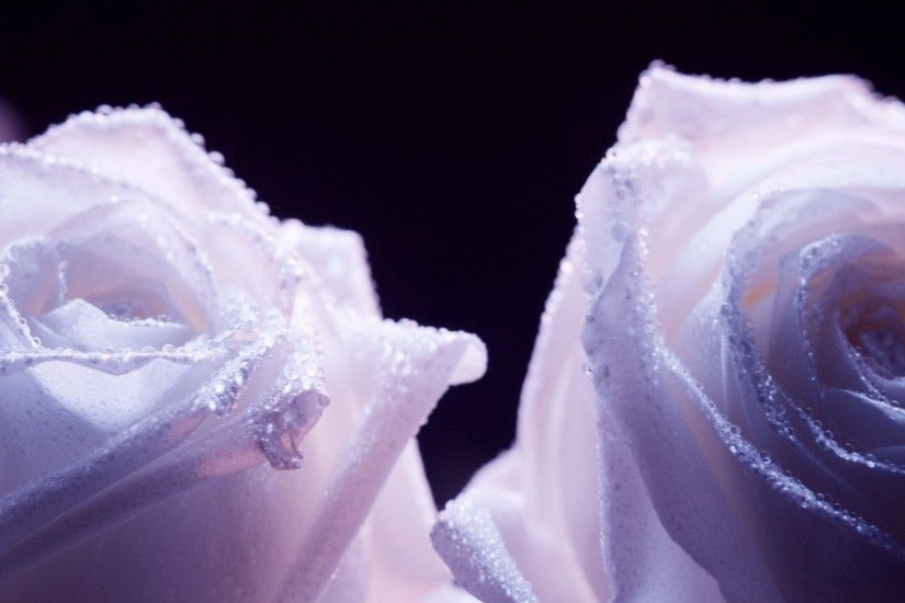 Decorated purple roses