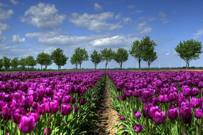 Holland Tulip Wallpaper (64 Wallpapers)