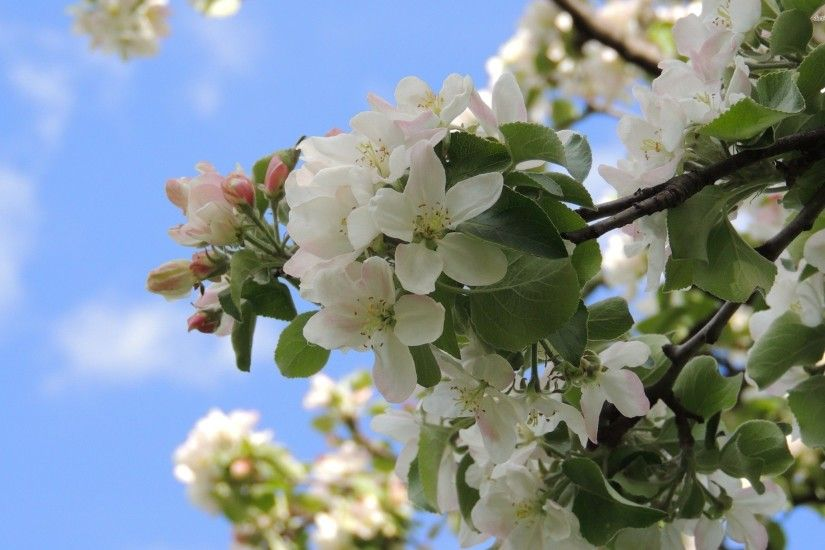 WHITE APPLE BLOSSOMS BETWEEN GREEN LEAVES WALLPAPER