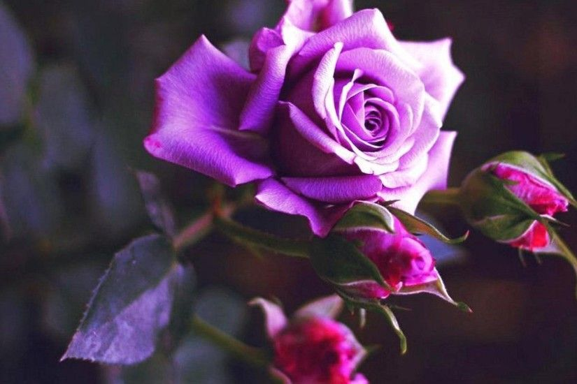 Sunshine purple rose wallpapers