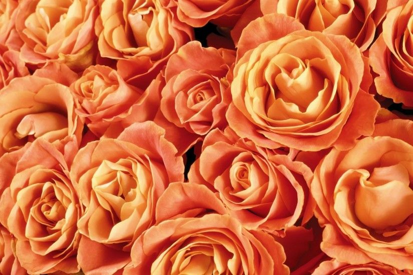 Orange Roses Backgrounds - Wallpaper, High Definition, High Quality .
