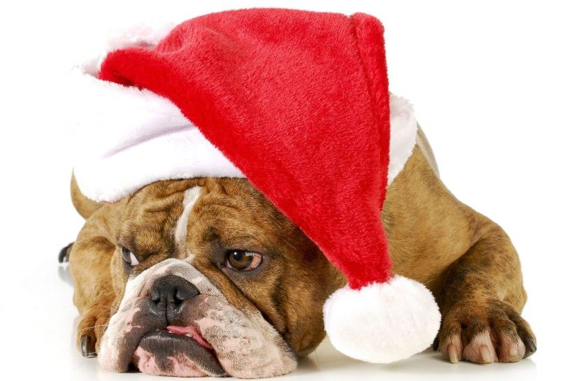 ... English bulldog with a Santa hat HD Wallpaper 2560x1600