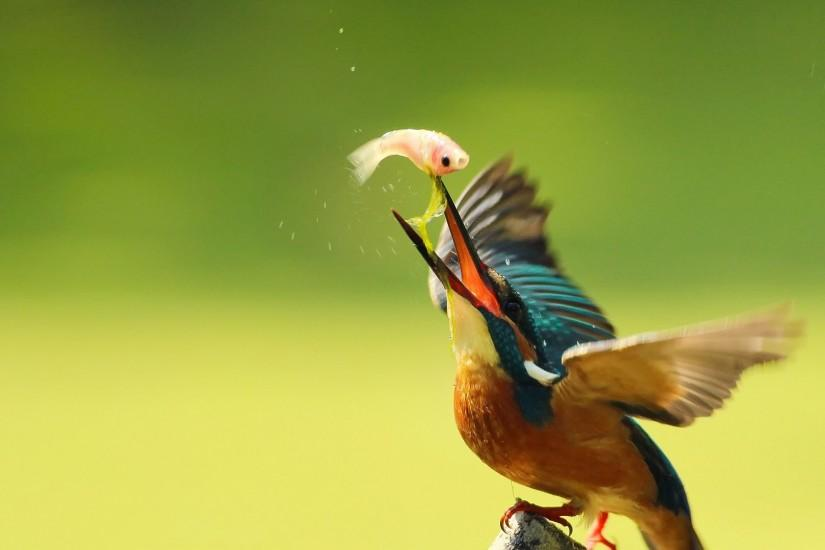 Kingfisher fishing backgrounds wallpaper HD.