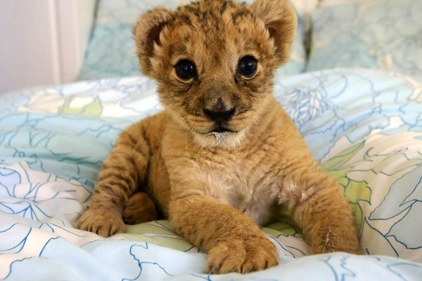 Cute Lion Cubs HD Desktop Wallpaper, Background Image