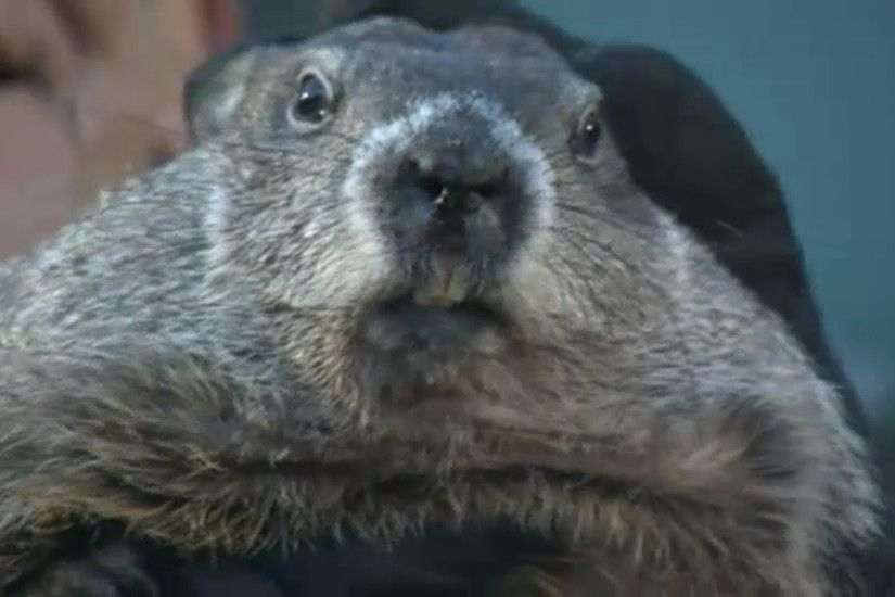 Punxsutawney Phil says 'bring on spring' after failing to see his shadow -  Chicago Tribune