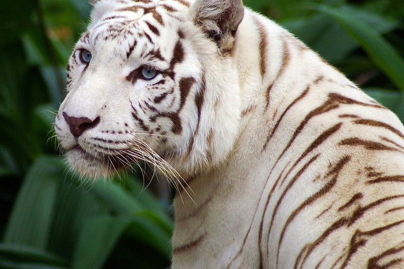 8589130416252-beautiful-white-tiger-wallpaper-hd.jpg