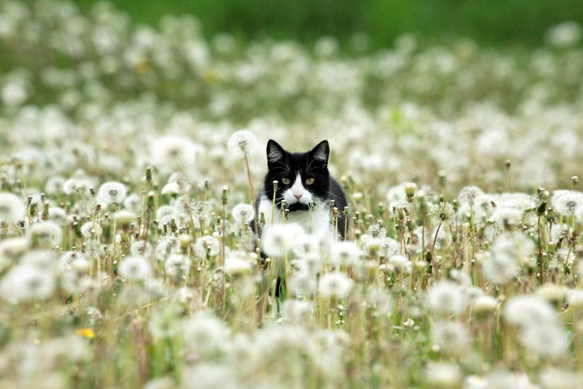 Black and white cat in dandelions