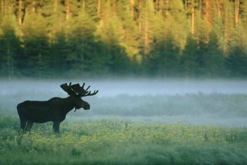 Download Forest Moose Nature Animals Wallpaper Hd