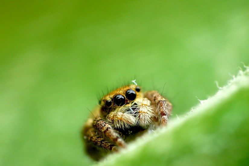 brown spider on green leaf, jumping spider