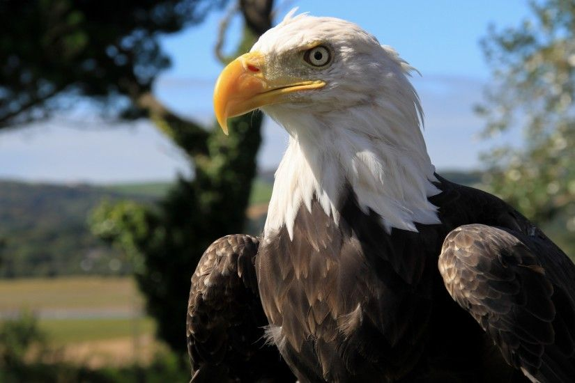 Bald Eagle Desktop Background