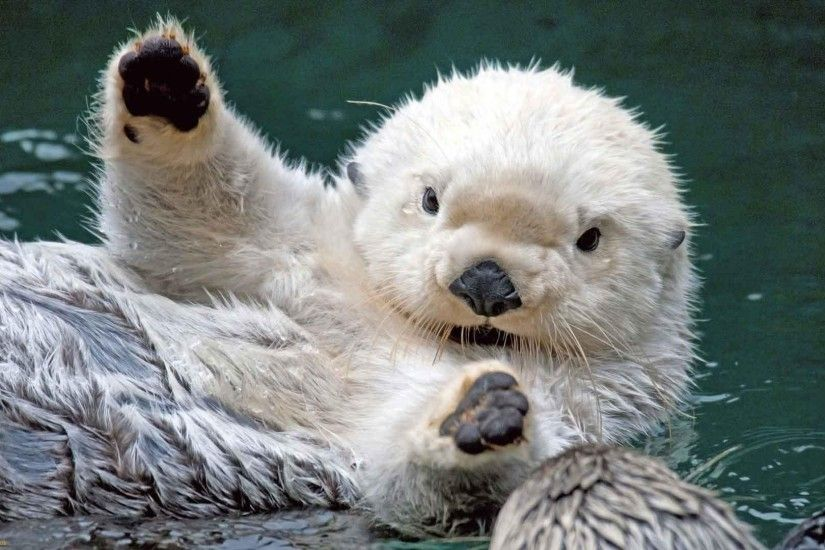 Otter Tag - Ocean Sea Otter Baby Animals Background for HD 16:9 High  Definition