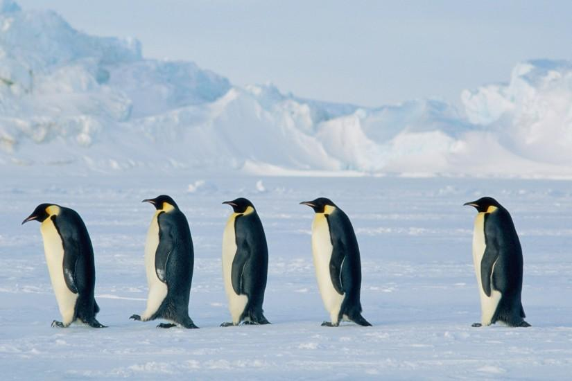 Penguin March HD Wallpaper Wallpaper