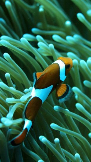 Clownfish 03 Galaxy Note 3 Wallpapers Galaxy Note 3 Wallpapers