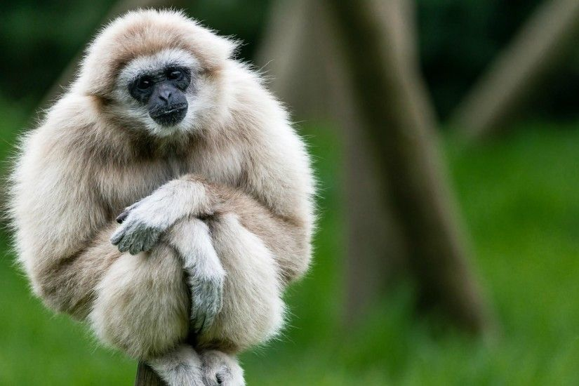 Cute white gibbon