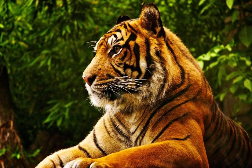 animals, Tropical Forest, Tiger Wallpapers HD / Desktop and Mobile  Backgrounds