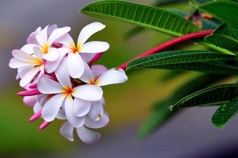 Preview wallpaper plumeria, exotic, drop, freshness, sharpness 1920x1080