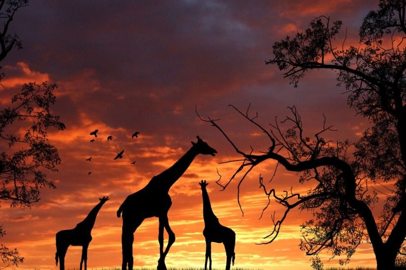 giraffe picture hd hd wallpapers cool images download amazing desktop  wallpapers samsung phone wallpapers 1080p display 1920×1080 Wallpaper HD