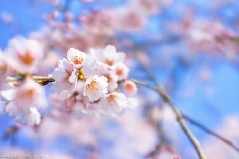 Sakura-Flower-wallpaper-wp60011557