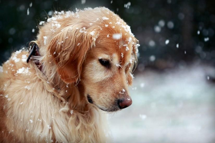 winter-dog-snowflakes-hd-wallpaper-Dog-wallpaper-HD-free-wallpapers- backgrounds-images-FHD-4k-download-2014-2015-2016