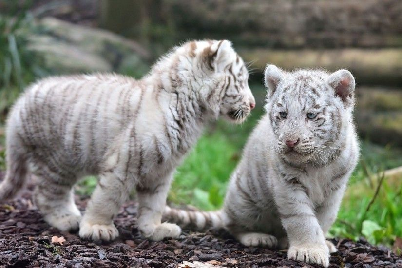Animal White Tiger Wallpaper
