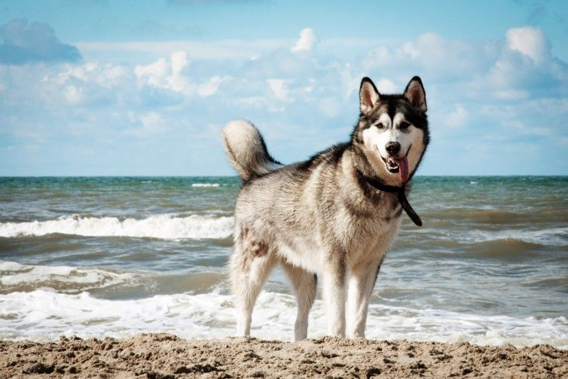 Siberian Husky HD Wallpapers | PixelsTalk.Net