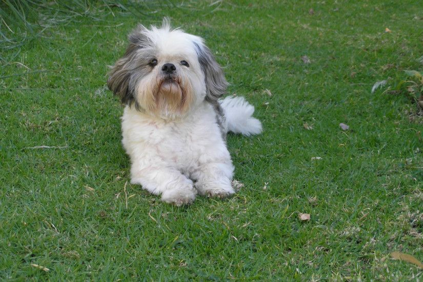 Shih Tzu on grass wallpaper
