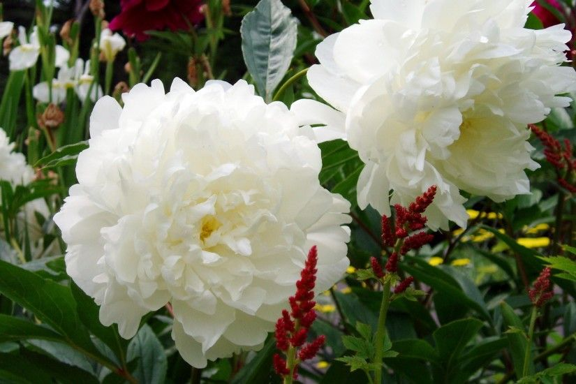 1920x1080 Wallpaper peonies, flowers, white, garden, green, nature