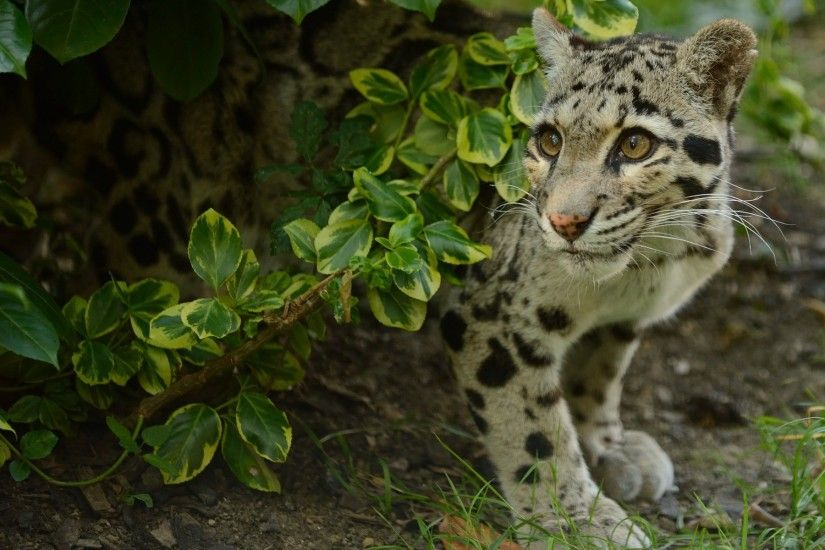 Clouded Leopard Computer Wallpapers, Desktop Backgrounds .