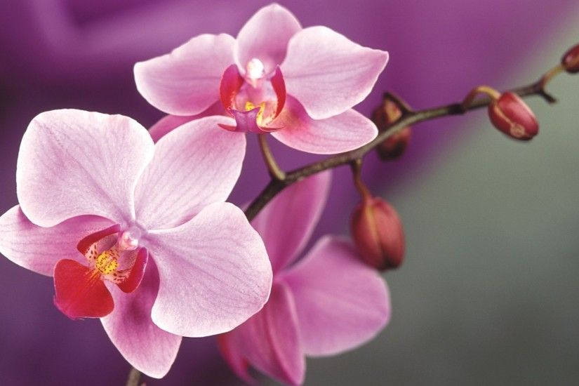 ... Orchid Wallpapers ...