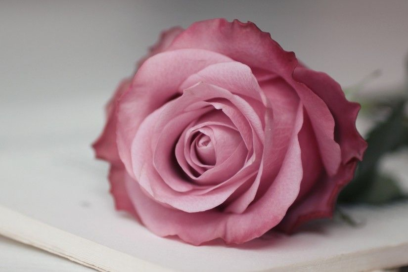 Pink Rose Wallpaper 46812