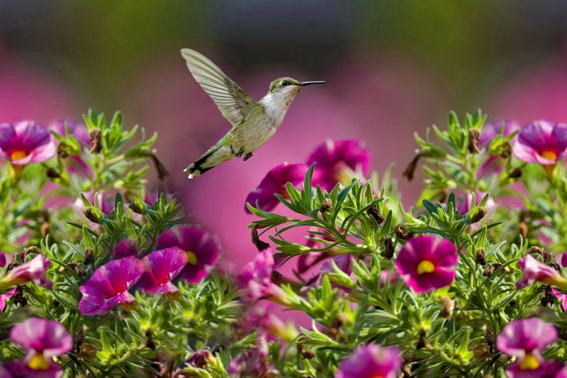 humming birds wallpapers and backgrounds | ruby throated hummingbird  wallpaper hd high resolution backgrounds ... | Pinterest | Hummingbird  wallpaper and ...