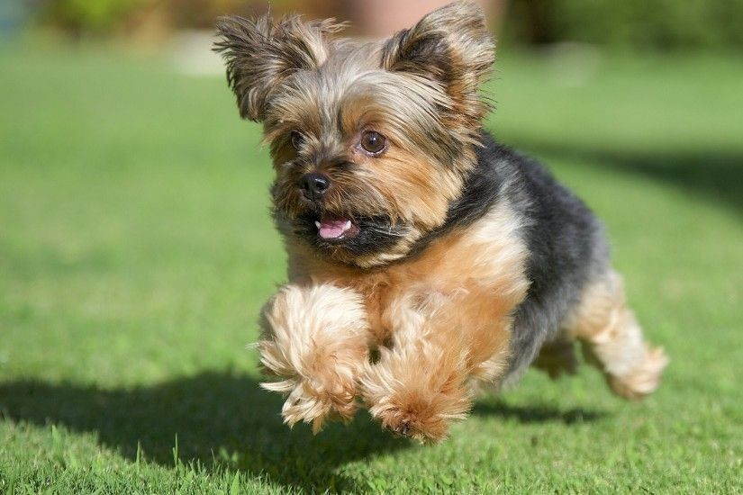 yorkshire terrier new york dog running grass lawn