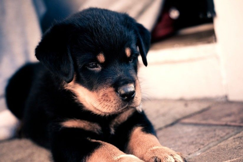Preview wallpaper puppy, rottweiler, cute, baby 2560x1440