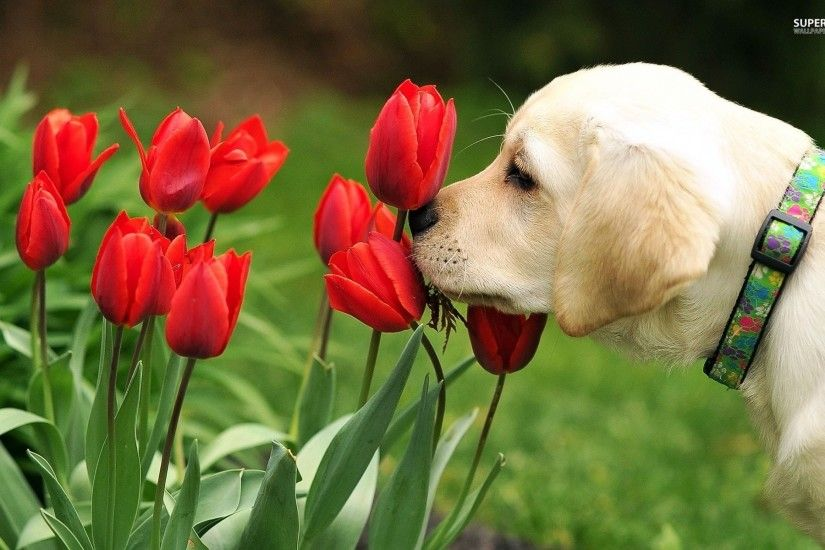 Golden Retriever Puppy Smelling The Tulips
