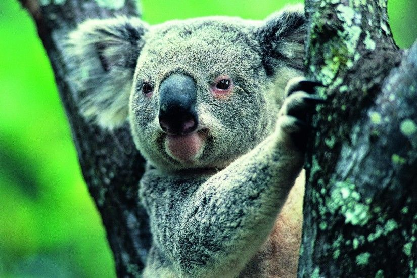 Koala Wallpapers Hd