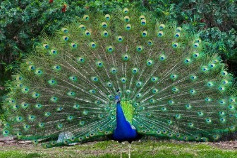 Nice Peacock images Free Download | Live HD Wallpaper HQ Pictures .