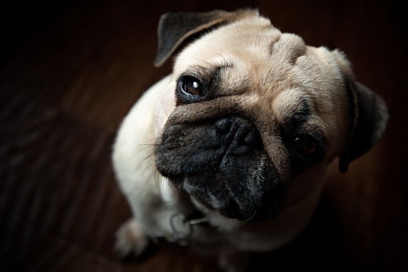 Pug Close-up wallpapers and stock photos