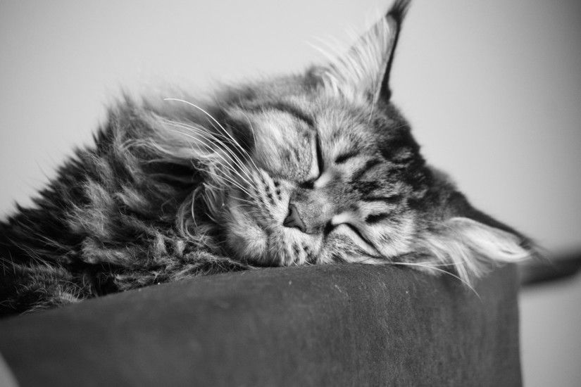 A young Maine Coon cat sleeping, black-and-white photo