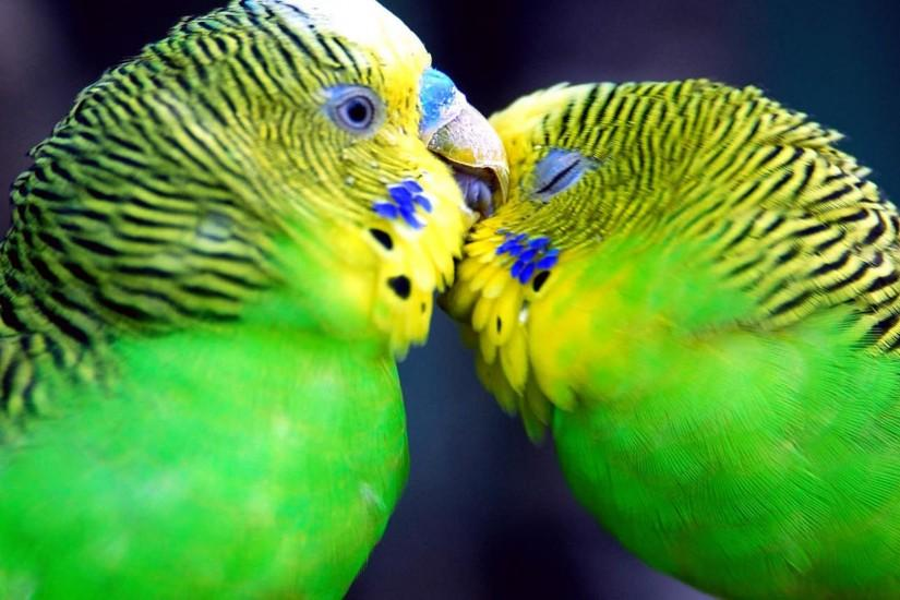 Desktop Best Wallpapers » Love » Parrot love couple kiss wallpapers
