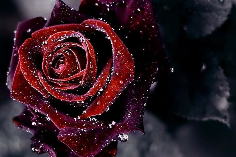 Wallpapers For > Red Rose Flower Background
