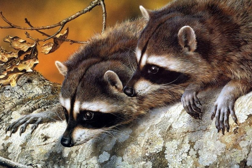 Animal – Raccoon Wallpaper · 426469